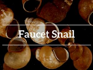 Faucet Snail